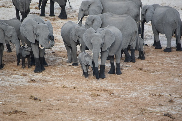 Herd of Elephants with Baby Elephants in Chobe National Park Botswana