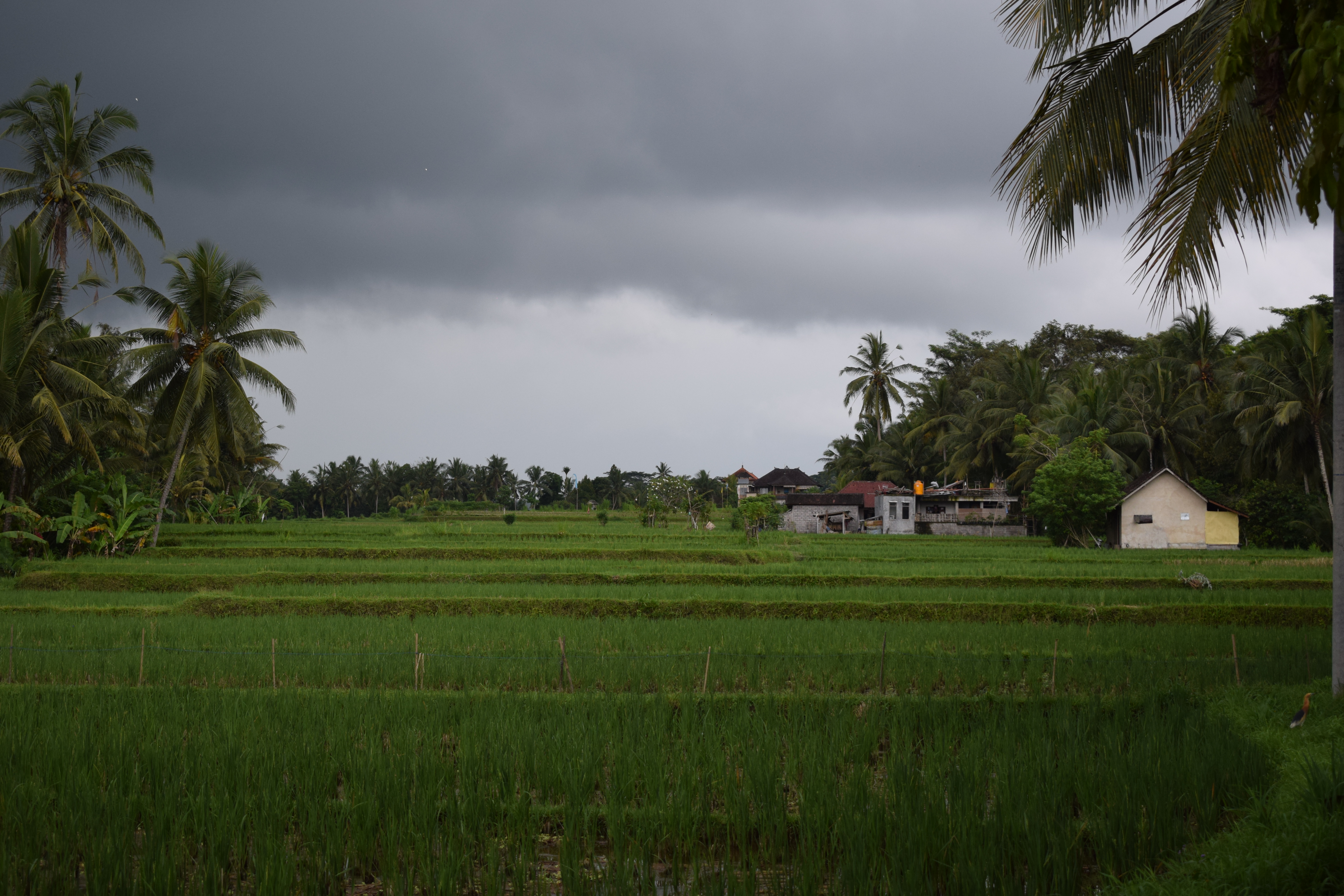 Rain Storm with Dark Clouds over Rice Paddy in Ubud Bali