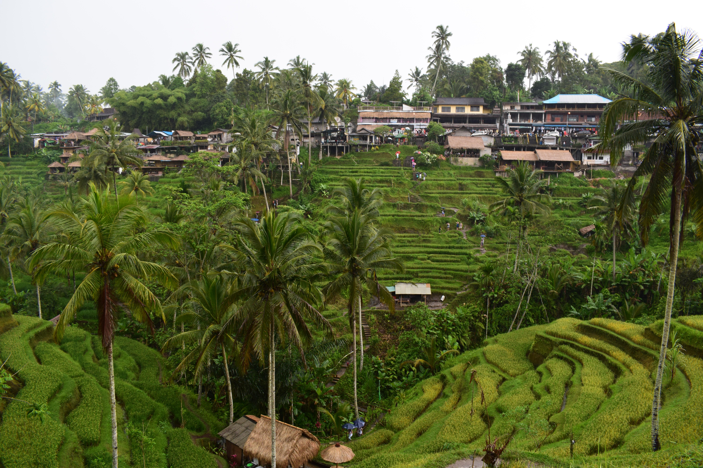 Hilly Rice Fields Near Ubud Bali