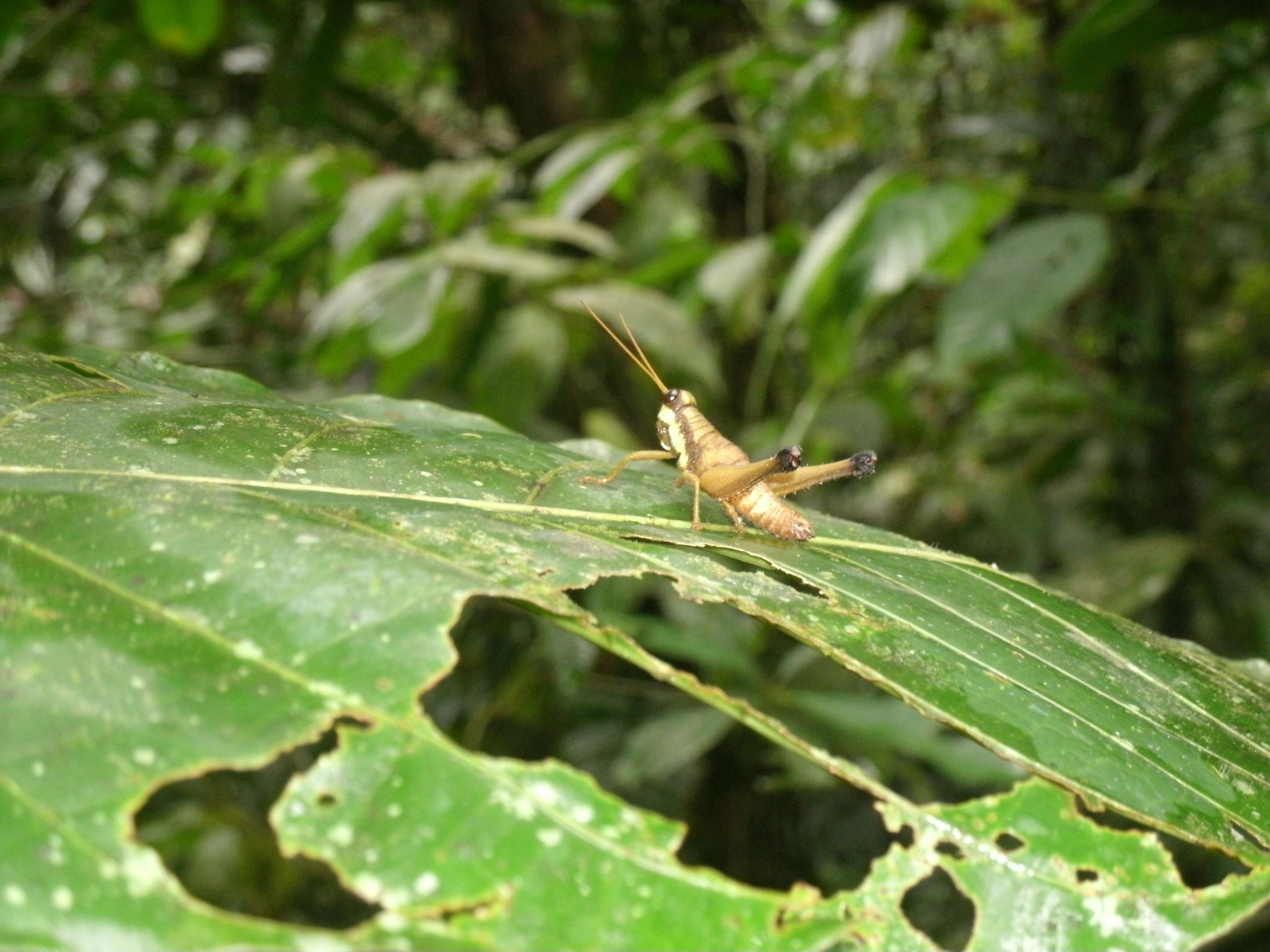 Grasshopper in Amazon Rainforest Ecuador