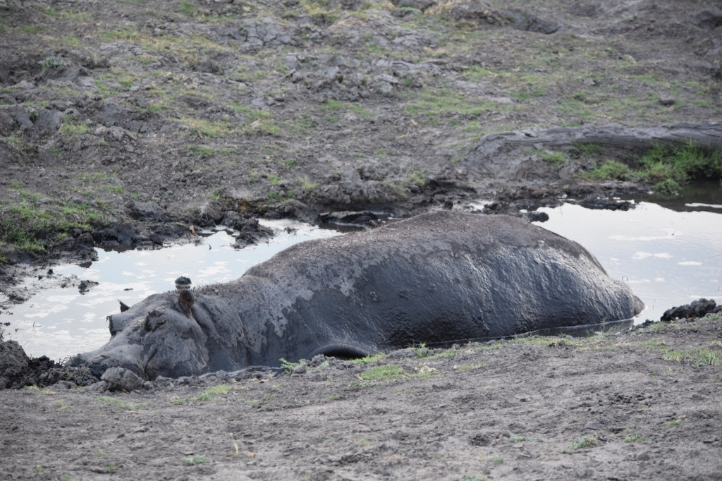 Hippo Wallowing in Mud Chobe National Park Botswana