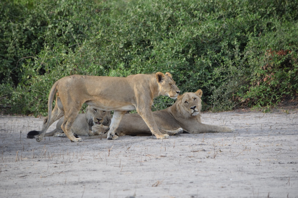 Three Young Male Lions Seen on Safari in Chobe National Park